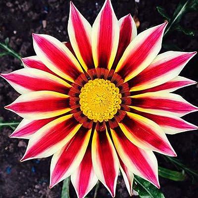 Oliote 50Pcs Gazania Splendens Flower Marigold Violet Balcony Garden Potted Seeds Flowers: Clothing