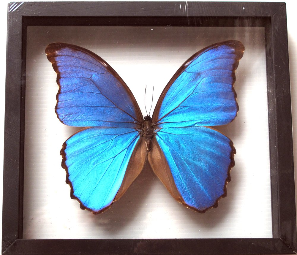 REAL BUTTERFLY MORPHO DIDIUS INSECT TAXIDERMY FRAME WITH DOUBLE SIDE GLASS by Thai