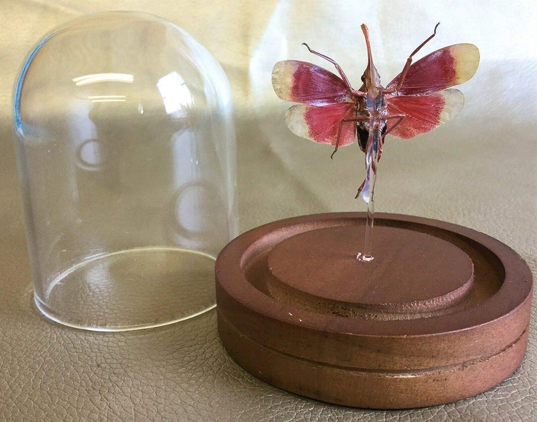 Taxidermy Entomology Lantern Fly Cicada Glass Dome Display Specimen Insect V2