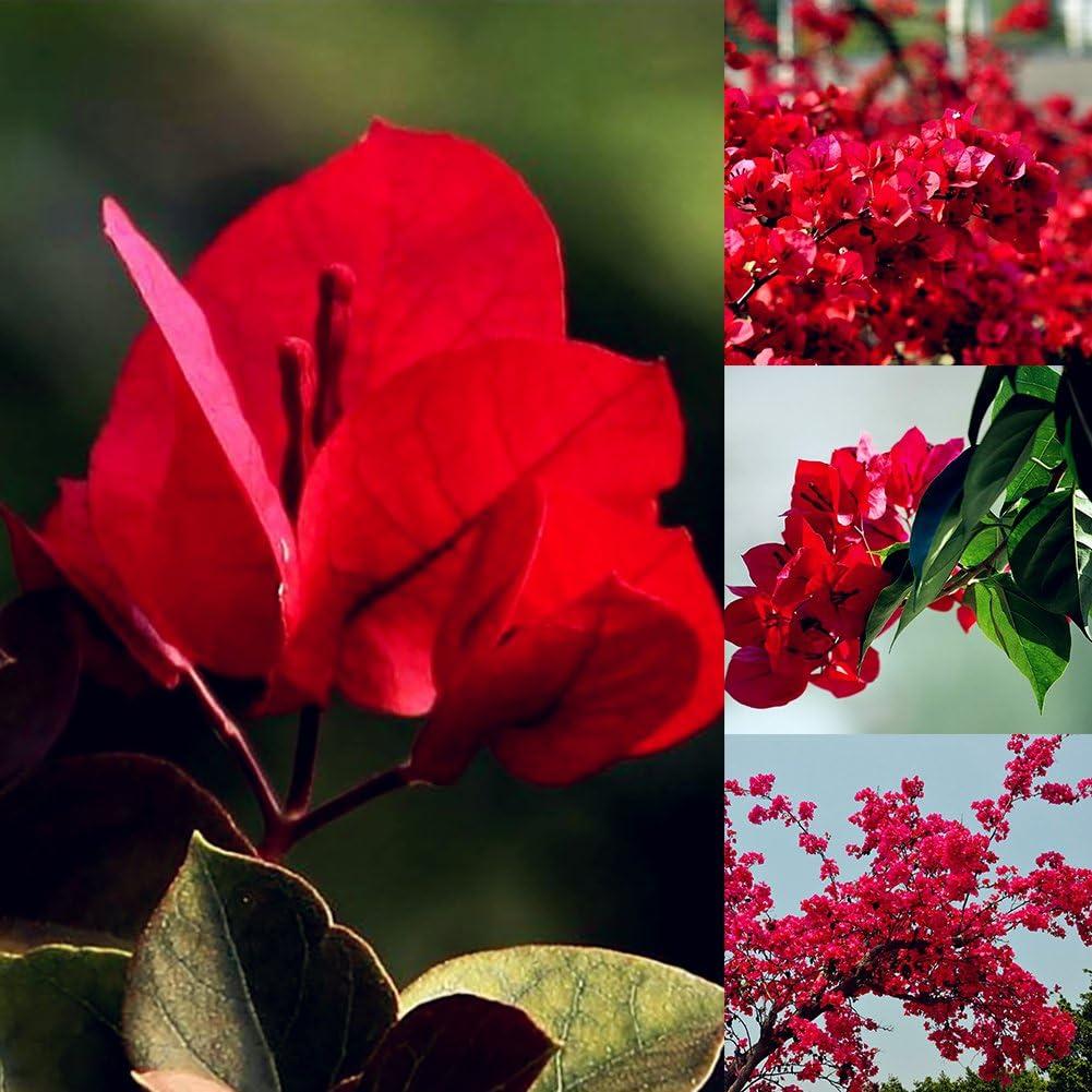 Bambini Red Bougainvillea Seeds POTATO001/20PCS Red Bougainvillea semi di fiori giardino della decorazione delle piante ornamentali Sandali Adventure Seeker T punta chiusa