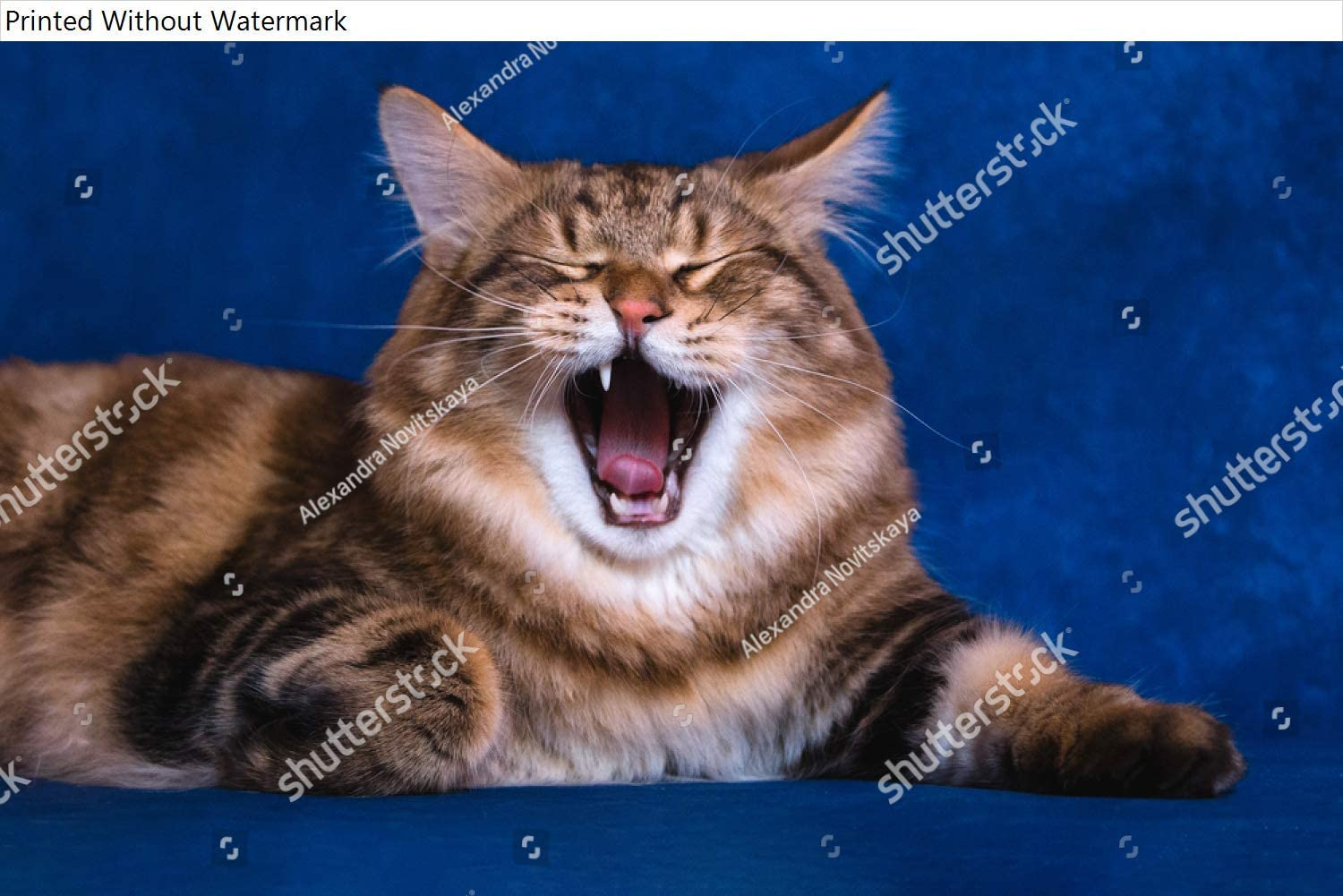 KwikMedia Poster of Kuril Bobtail on an Isolated Background Funny Striped cat with an Open Mouth cat Yawns at The Camera