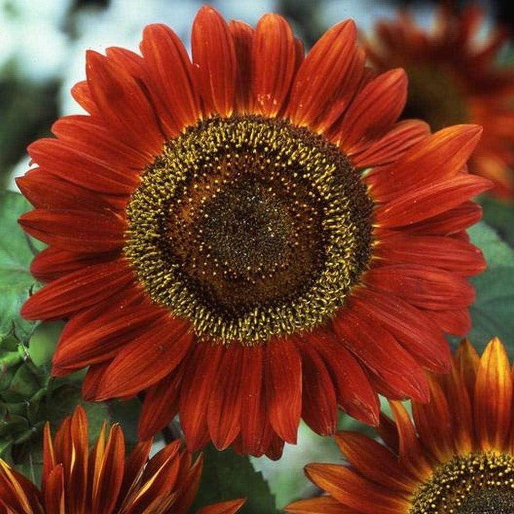 80 Quality Flower Seeds //148F Evening Sun RED Sunflower Helianthus ANNUUS