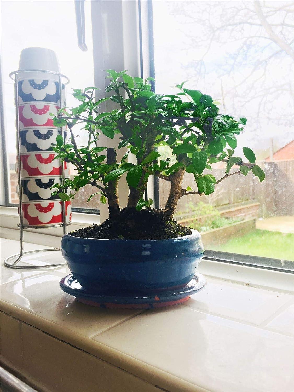 Easy Plants/® Fukien Tea Tree Bonsai Forest Group Plants in Ceramic Pot