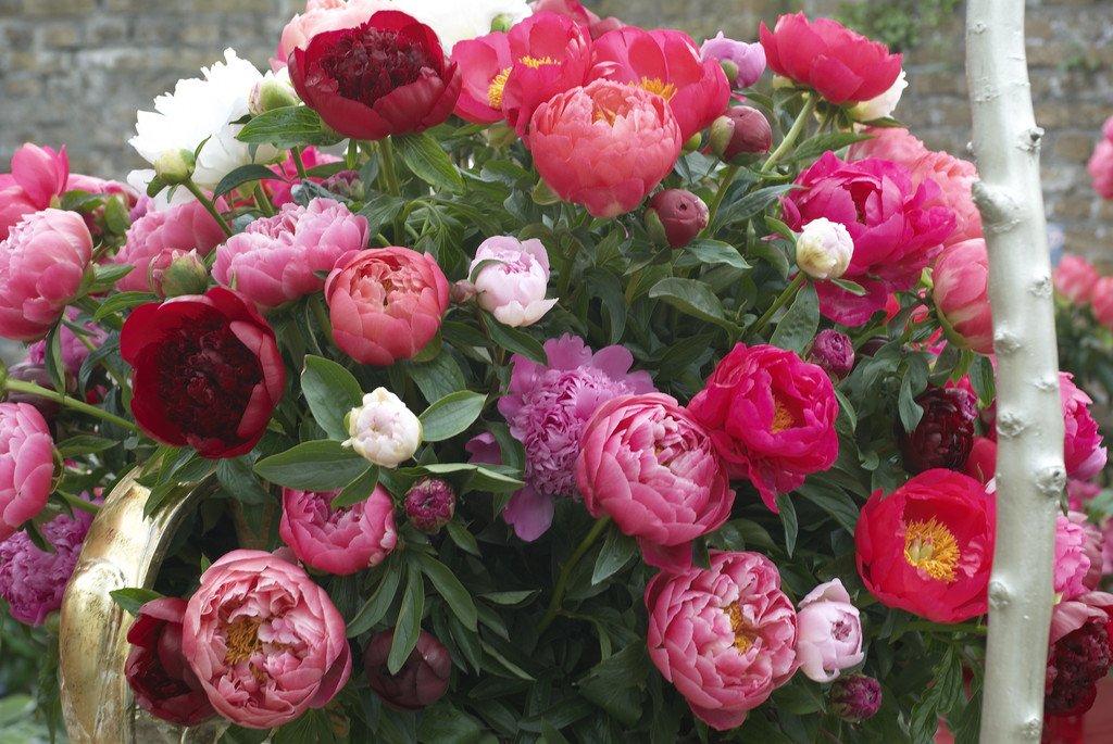 Van Zyverden Peonies Mixed Varieties Flower Bulbs