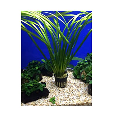 New Live Fresh Water Aquatic Plant vallisneria spiralis Potted p174 1 pcs: Pet Supplies