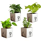 Rolling Nature Combo of Good Luck Air Purifying Live Money Plant Golden Pothos Syngonium Green and Jade in Square Aroez Ceramic Pot