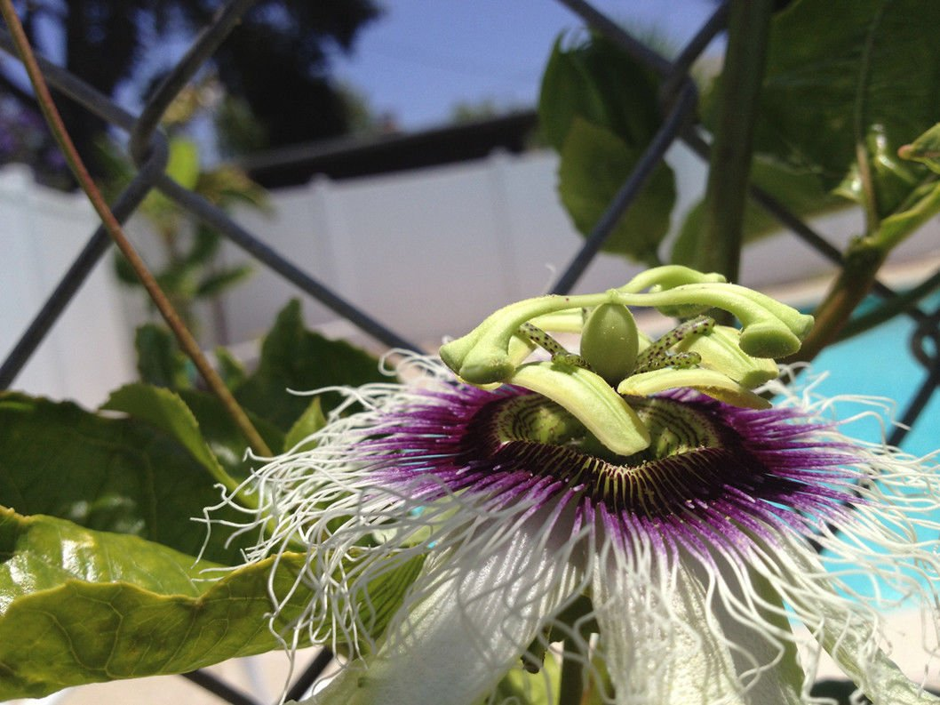 Passiflora 'Frederick' - Edible Purple Passion Flower Fruit Vine - Live Plant by Natures Garden Nursery