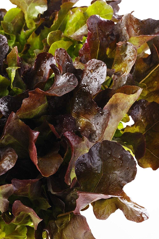 1150 semi Semi di insalata di insalata di lattuga rossa Lactuca sativa 1150 semi