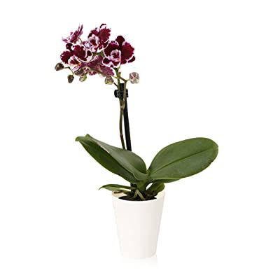 Color Orchids Mini Orchid Plant Live Phalaenopsis in White Pot, Single Stem, Purple: Garden & Outdoor
