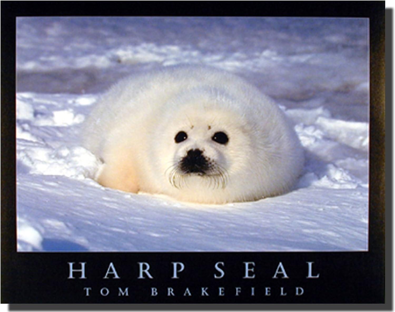 Wild Animal Wall Decor Cute Harp Seal in Snow Art Print Poster (16x20)