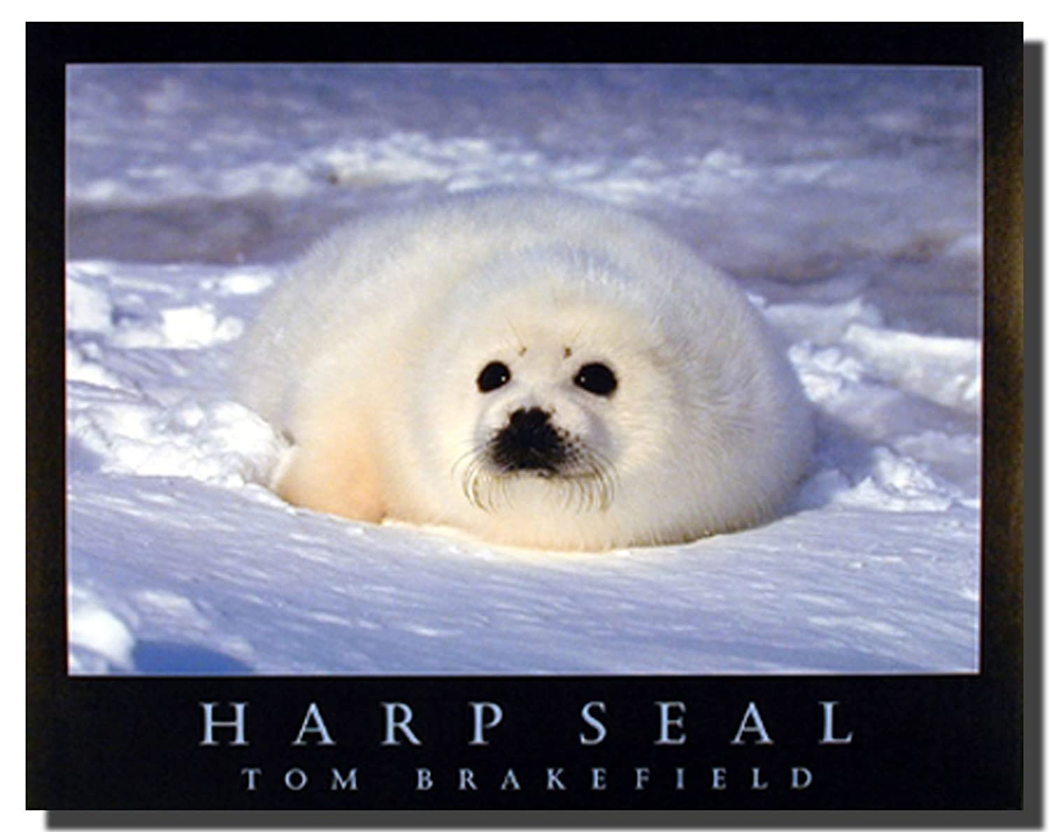 Snow seal image collections diagram writing sample and guide amazon cute harp seal in snow wild animal wall decor art amazon cute harp seal in sciox Images