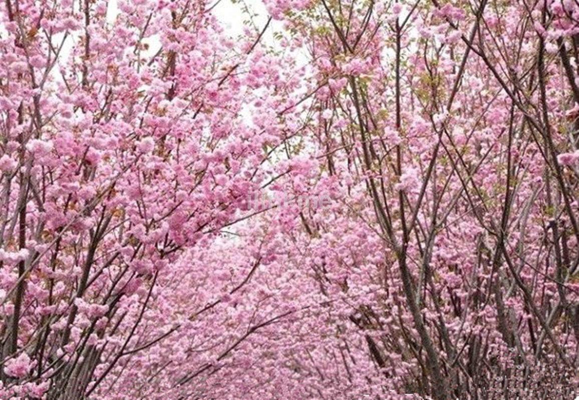Amazon Com Portal Cool 10 Japanese Red Sakura Flower Cherry