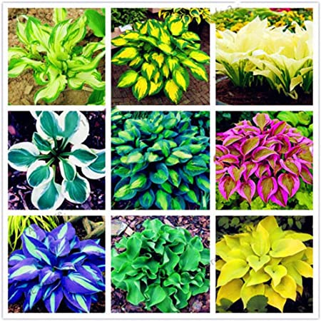 Amazon Com 100pcs Hosta Plantaginea Seeds Fragrant Plantain