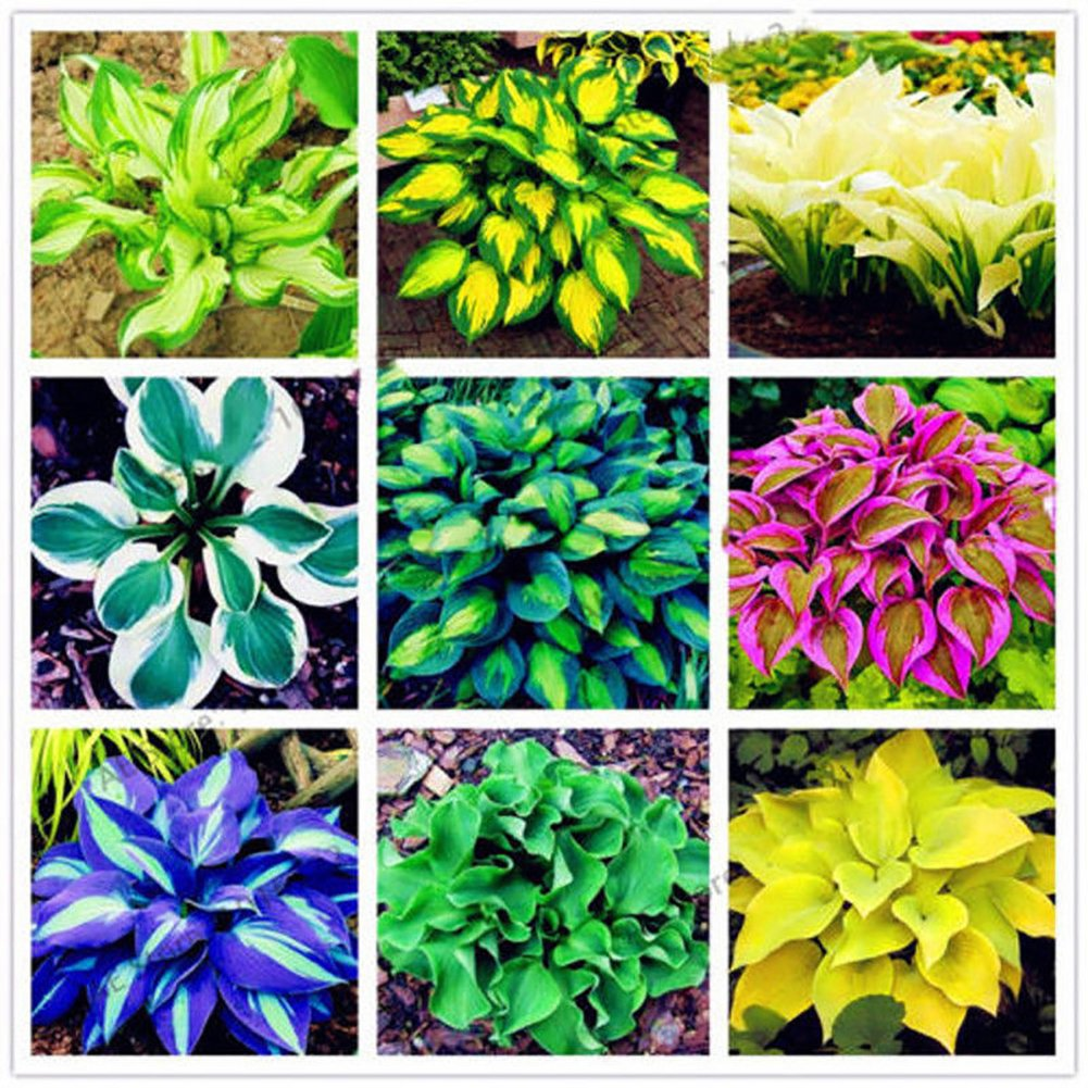 ypypiaol 100 Pcs Hosta graines Hosta Plantaginea Graines Bonsa/ï Plante Fleur Home Office Jardin Jardin D/écor