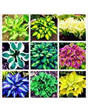 LOadSEcr's Garden 100Pcs Hosta Plantaginea Seeds Non-GMO Ornamental Plants Yard Office Decoration, Open Pollinated Seeds