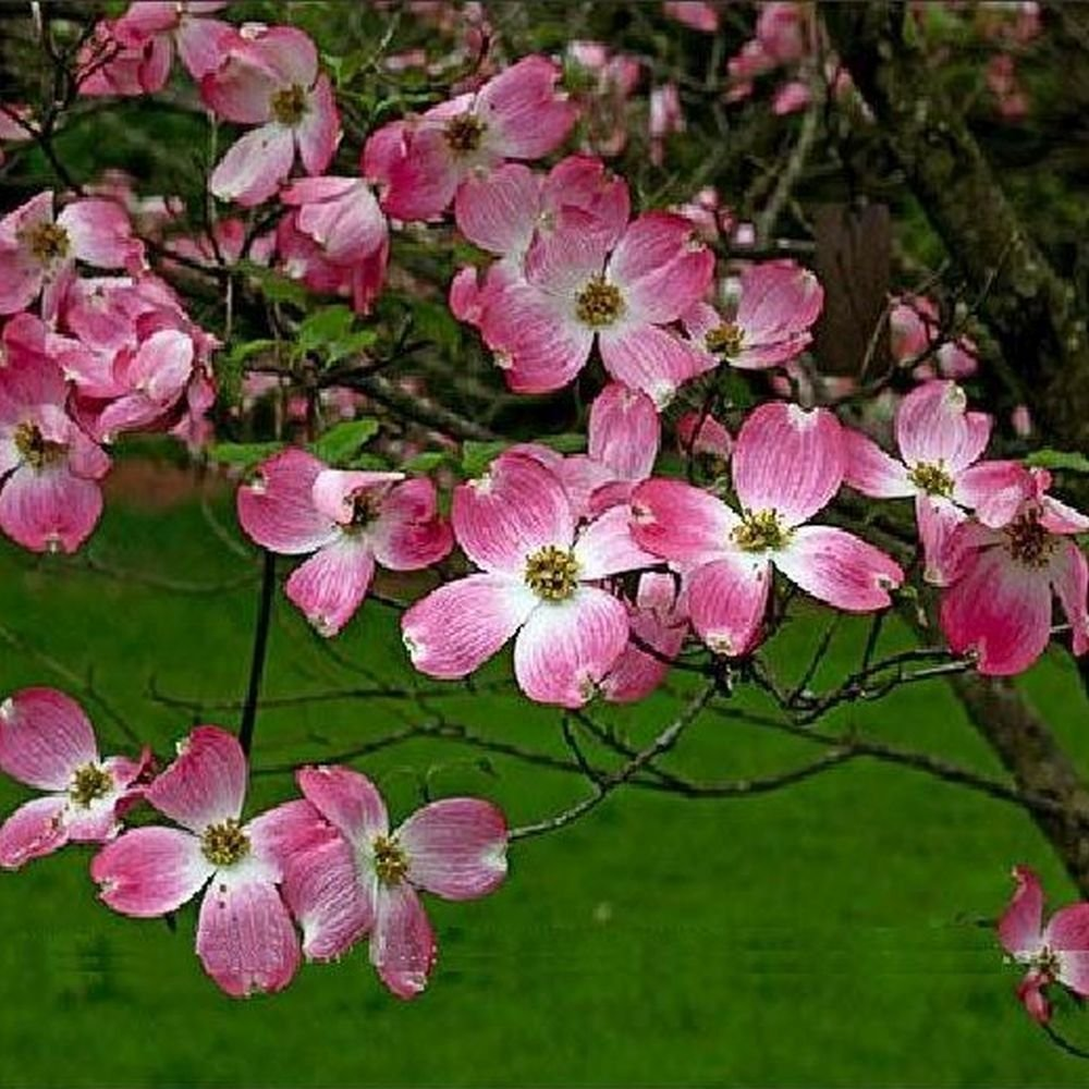 Amazon Pink Flowering Dogwood Cornus Florida Rosea Seeds