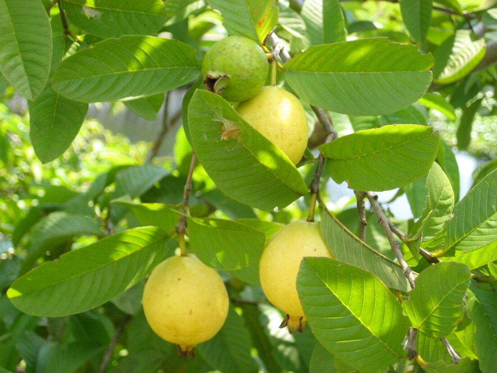 Guava (300 Seeds) Fresh This Season's Harvest {Delicious} (Premium Quality) by LVJ Premium