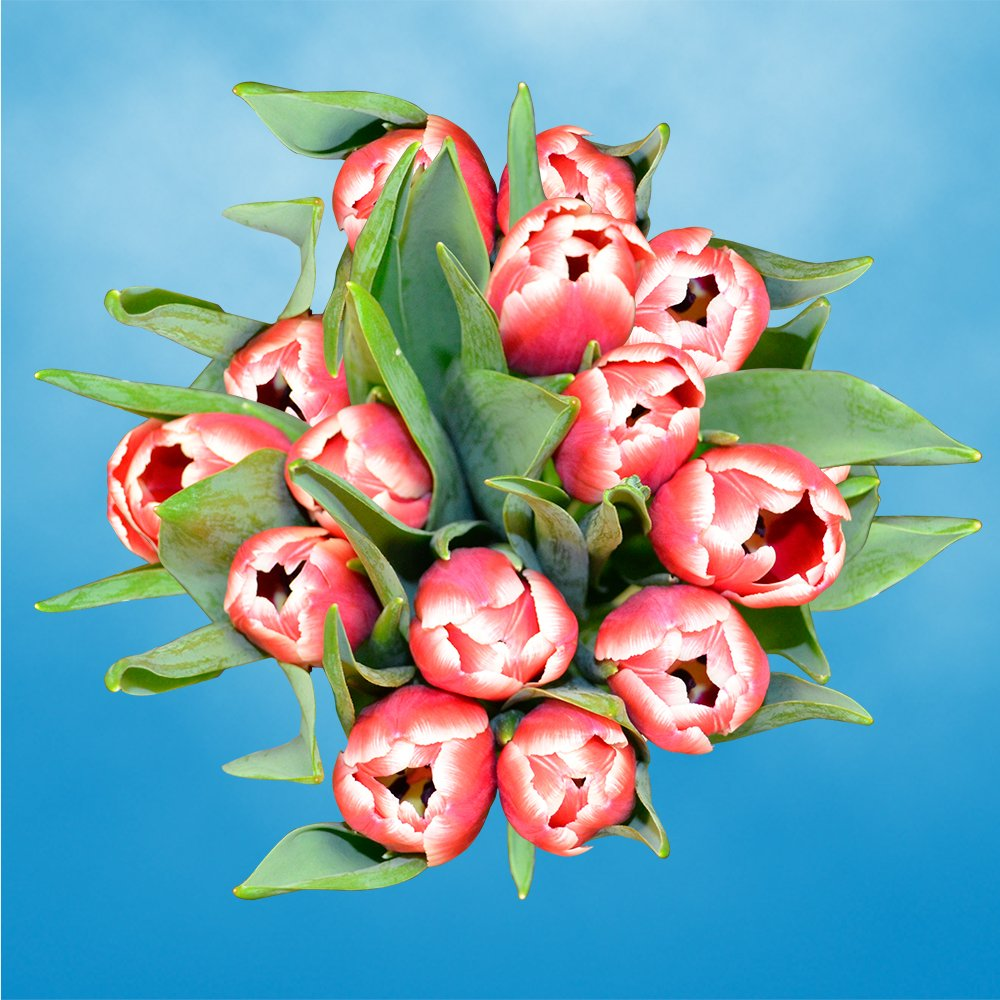 GlobalRose 30 Stems of Red and White Bicolor Tulips Flowers - Fresh Flowers for Delivery by GlobalRose (Image #4)