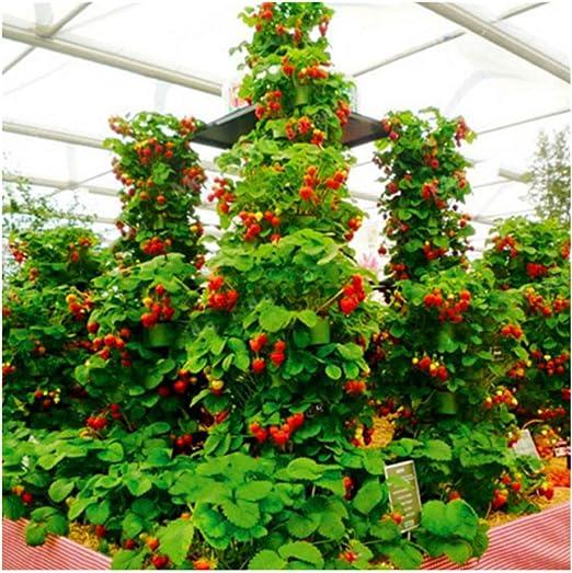 100 unids/pack de fresas fresa escalar grandes semillas de plantas rojas en casa jardín: Amazon.es: Jardín