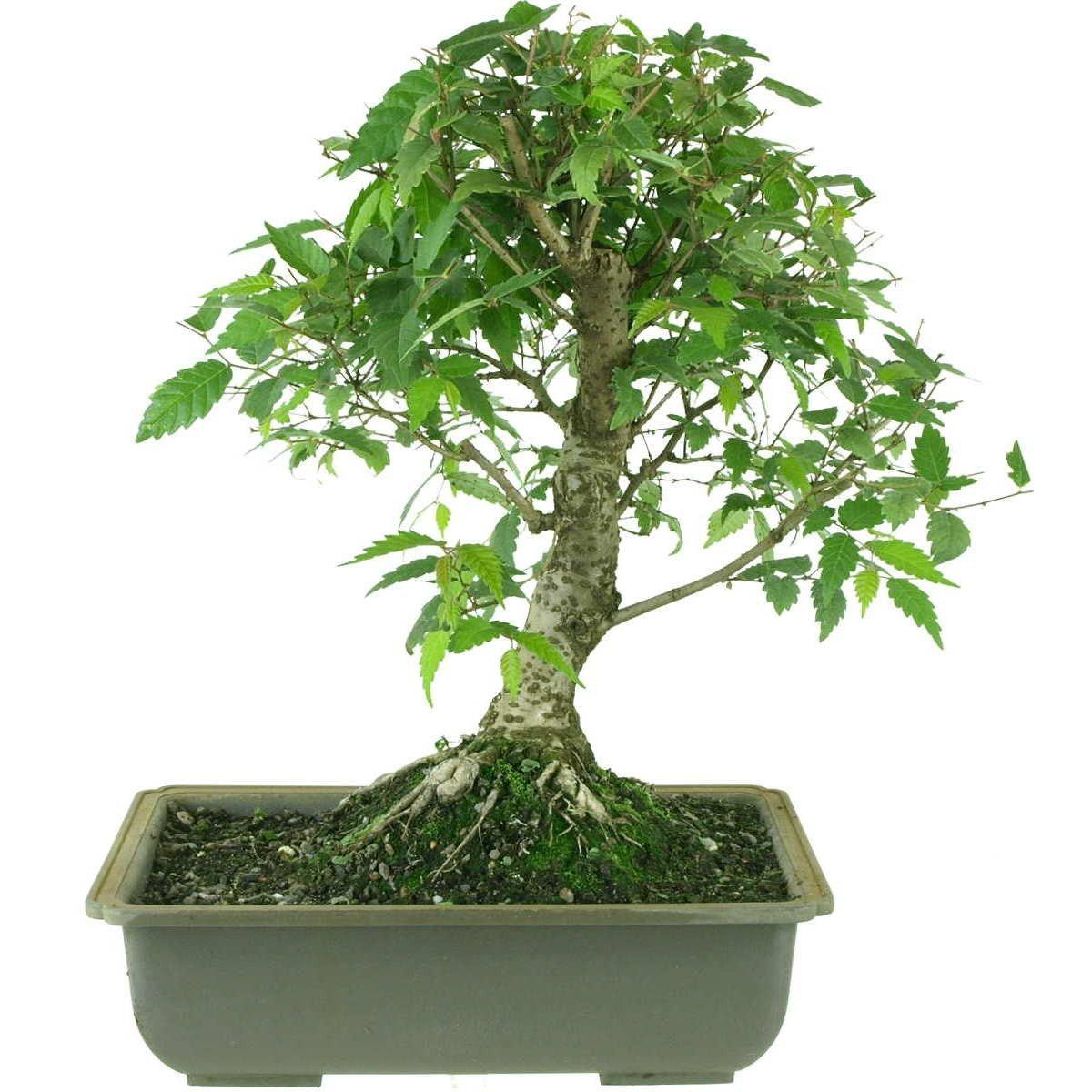 Japanische Zelkova, Prebonsai, 10 Jahre, 37cm