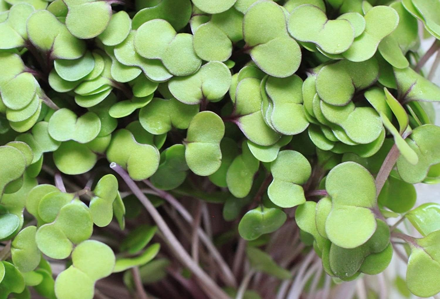 Seeds Red Salad Bowl 10,000 Microgreens Non-GMO Sprouting