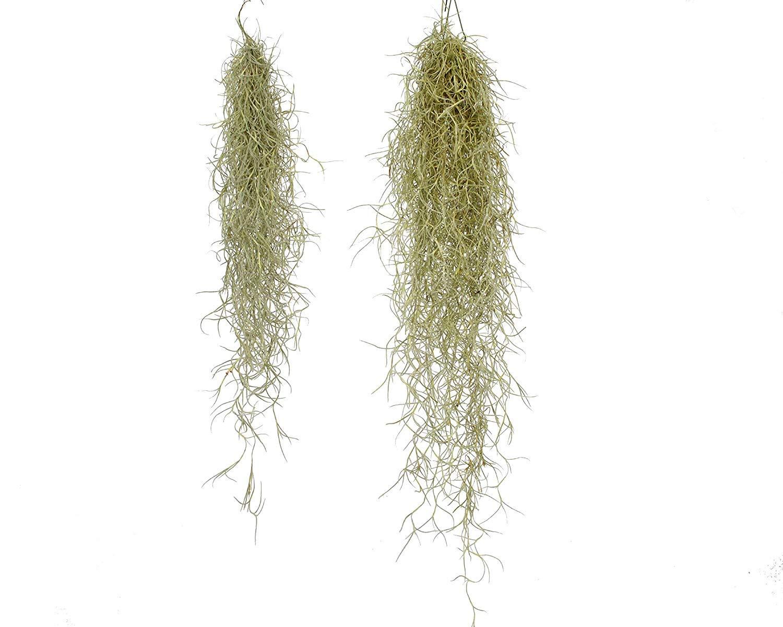 2X Grande Espa/ñol Musgo Terrario Tillandsia Usneoides Planta /…