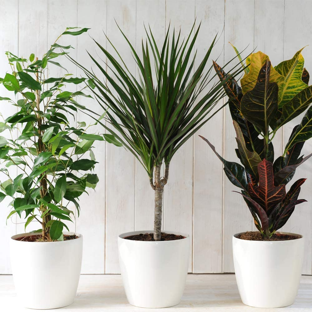 Evergreen Indoor House Plants Collection Clean Air Purifying Scandi Lifestyle Real Plants With Unique Foliage Eye Catching Designs 3 X Scandi Houseplant Lucky Dip By Thompson And Morgan Amazon Co Uk Garden