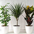 Evergreen Indoor House Plants Collection Clean Air Purifying Scandi Lifestyle Trendy Plants with Unique Foliage & Eye Catching Designs, 3 x Scandi Houseplant Lucky Dip by Thompson and Morgan