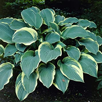 Five Regal Splendor Hostas For Sun Or Part Shade Blue Gray Leaves