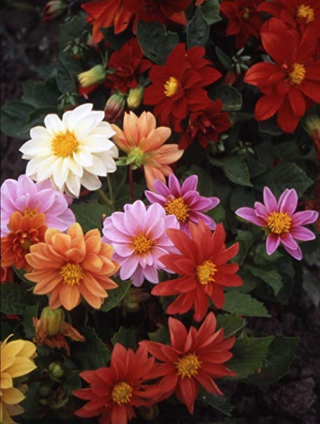 Oliver Seed Flower seeds -Dahlia Early Bird Mixed Pack of 25