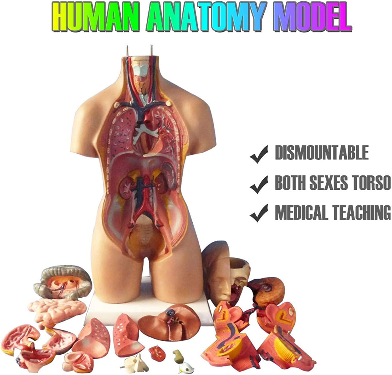 Multicolor UpdateClassic Human Torso Model 11 Inch 4D Anatomical Assembly Model of Human Organs Removable 23 Pieces Unisex Human Torso Model Life Size Medical Anatomy Educational Teaching Tool