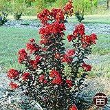 サルスベリ 苗 銅葉サルスベリブラックパール ルージュ ポット苗 庭木 落葉樹 シンボルツリー