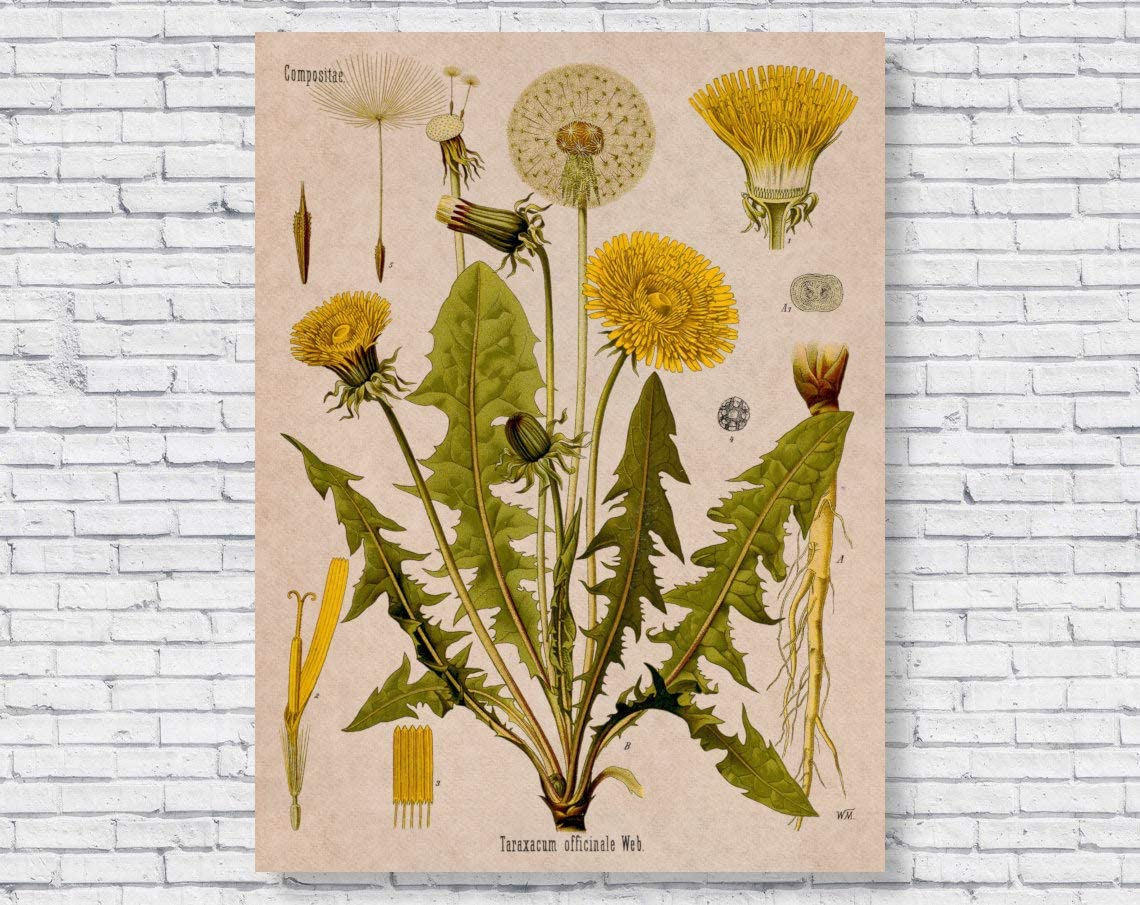 """Wrapped Framed Vintage Dandelion, Botanical Scientific Wrapped Canvas Art Printing Home Decor in Office Bedroom Living Room 12"""" X 16"""" Ready to Hang"""