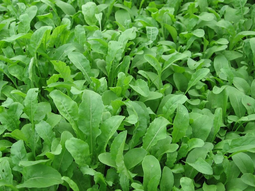 Bulk Organic Arugula Seeds (1 lb) 165,000 Seeds by Dirt Goddess Super Seeds