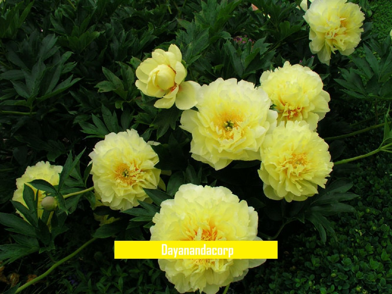 Amazon 20 Pcs Herbaceous Tree Peony Hybrid Seeds Paeonia