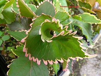 Acalypha Wilkesiana Fire Dragon 1 Plant 4 034 Pot Medicinal Amazon