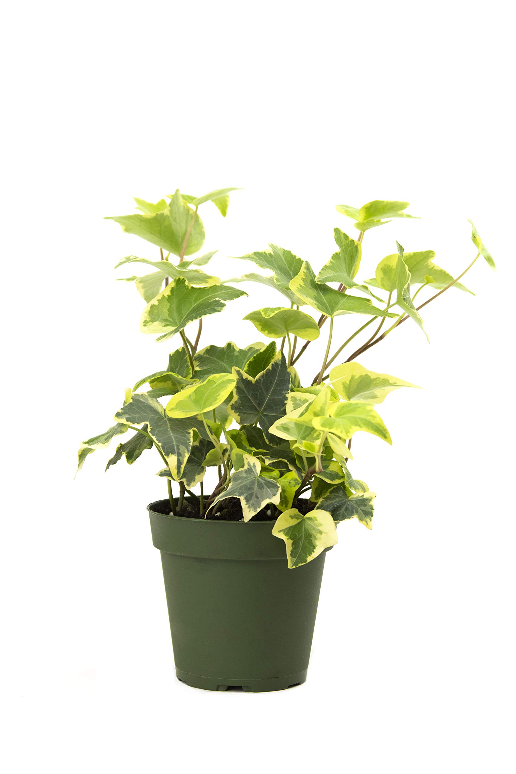 Burpee's Hedera (Ivy Variegated Gold | Indirect High Light, Easy Care House Plant | 4'' Pot