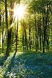 empireposter - Forests - Sunrise Bluebell Wood - Größe (cm), ca. 61x91,5 - Poster + 2 St. Posterleisten Kunststoff 62 cm transparent