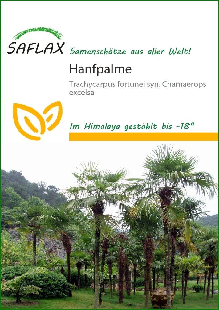Hanfpalme (Chamaerops excelsa syn. Trachycarpus fortunei) - 10 Samen - Winterhart