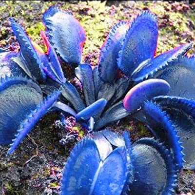 Acecor 50pcs Dionaea Muscipula Giant Clip Venus Flytrap Seeds Potted Flower Plant Seeds … (Blue) : Garden & Outdoor