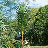 Cordyline - Australis - 40 Seeds