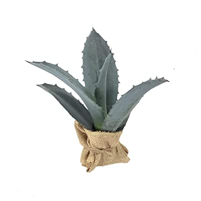 Agave Americana - Large Size Blue Agave Plant - Drought Tolerant Live Succulent : Garden & Outdoor