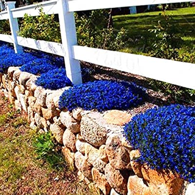 LEANO 100Seeds Creeping Thyme Seeds Ground Cover Flower Seeds Garden Decoration Rock Cress Seeds : Garden & Outdoor