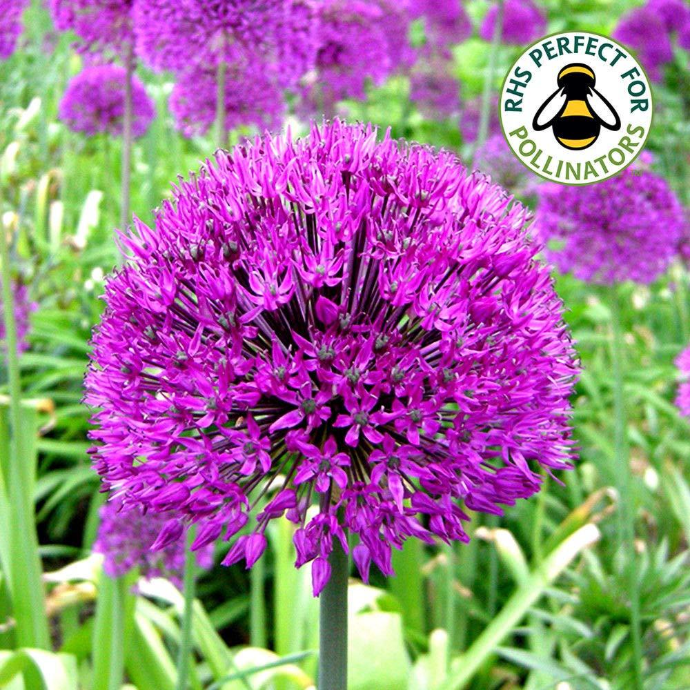 Portal Cool 5 Bombillas: Allium púrpura Sensation holandeses ajo bulbos de floración de primavera Plantas