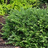 "Fritz Huber Plum Yew - 4"" pot - Ceohalotaxus"