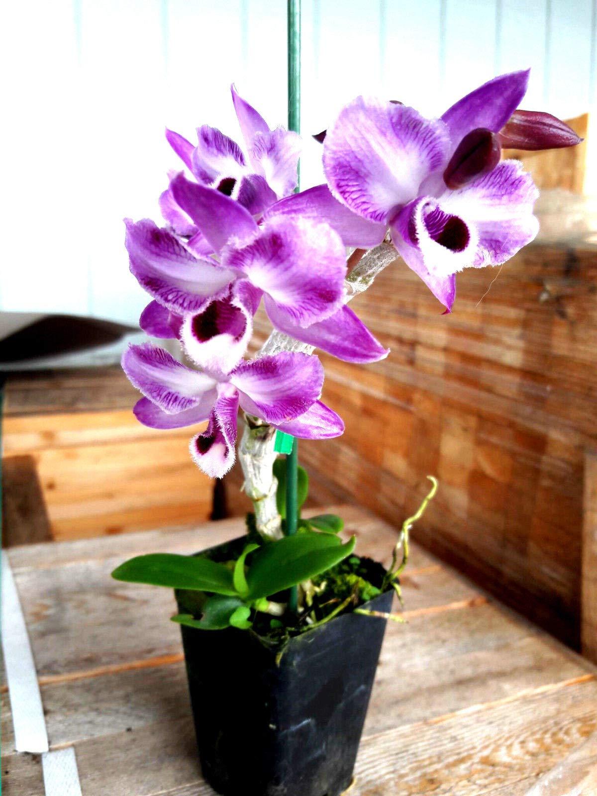 Dendrobium anosum (Hono Hono) Parishii fma Trilabelo, Orchid Plant