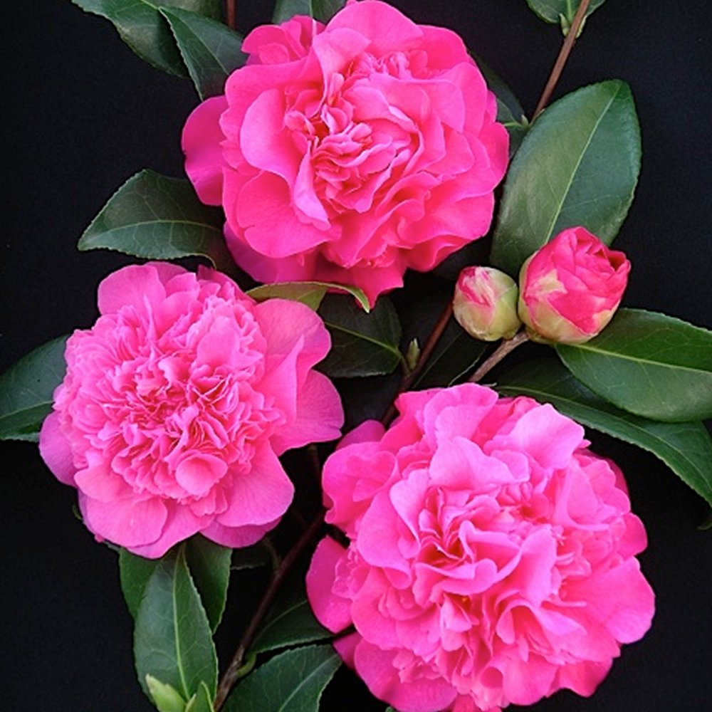 3 X CAMELLIA WILLIAMSII 'DEBBIE' BUSHY EVERGREEN SHRUB HARDY PLANT IN POT Gardener's Dream