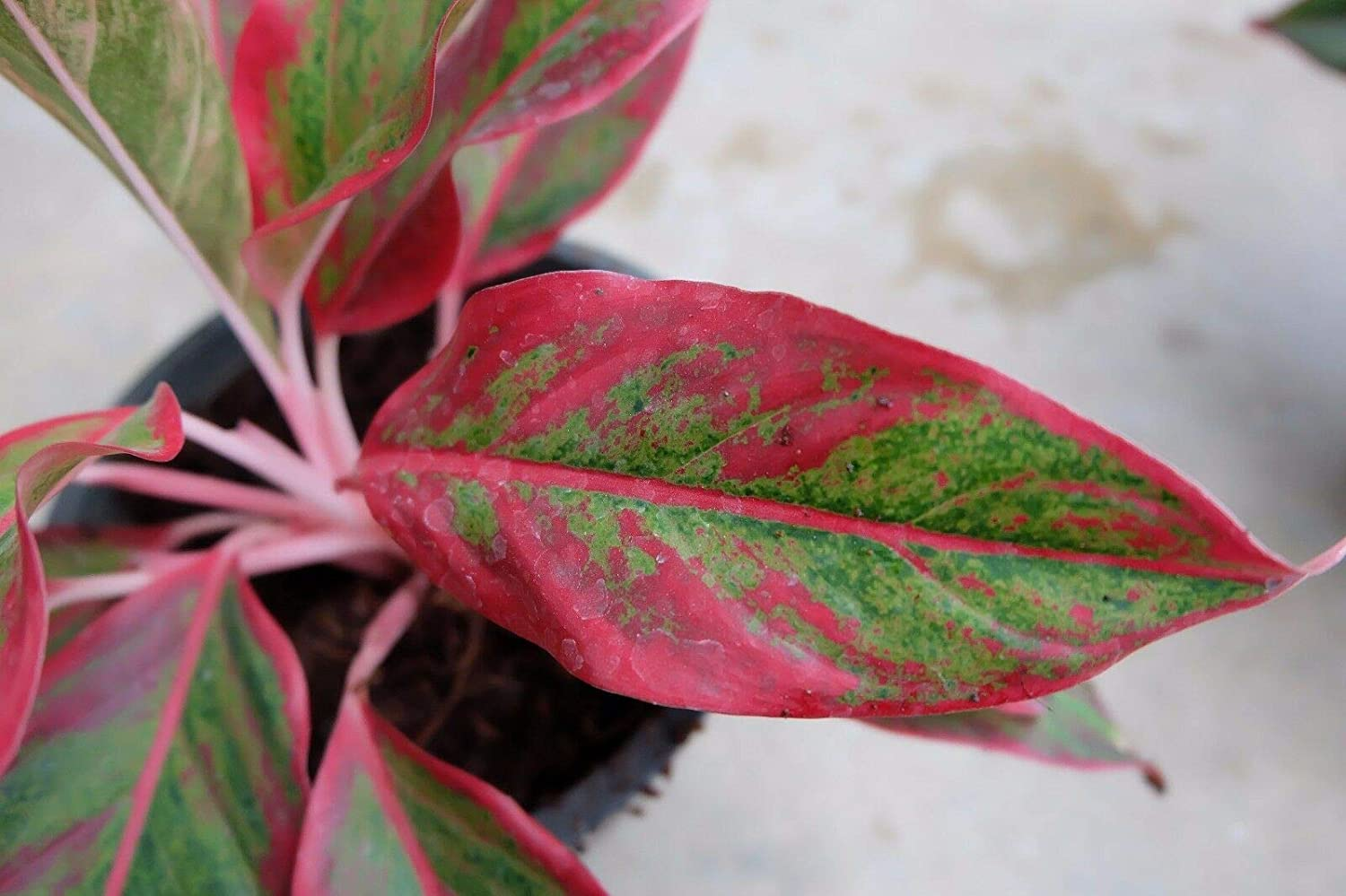 1 Aglaonema Plant Dang Ch evergreens Houseplants Size Pot 6 From Thai