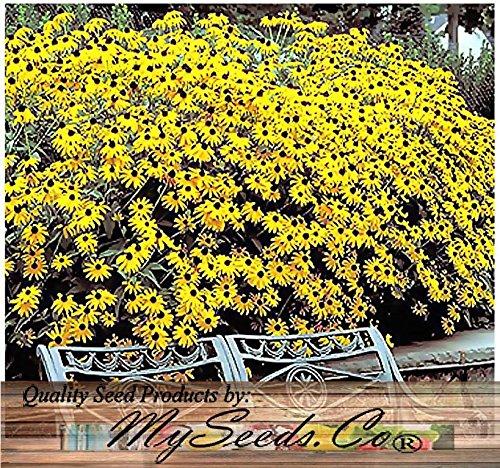 MySeeds.Co BIG PACK (100,000+) BLACK EYED SUSAN Flower Seeds ~ Rudbeckia hirta - SELF RESEEDS ~ PERFECT GOLDEN CUT FLOWERS (BIG PACK - Black Eyed Susan)