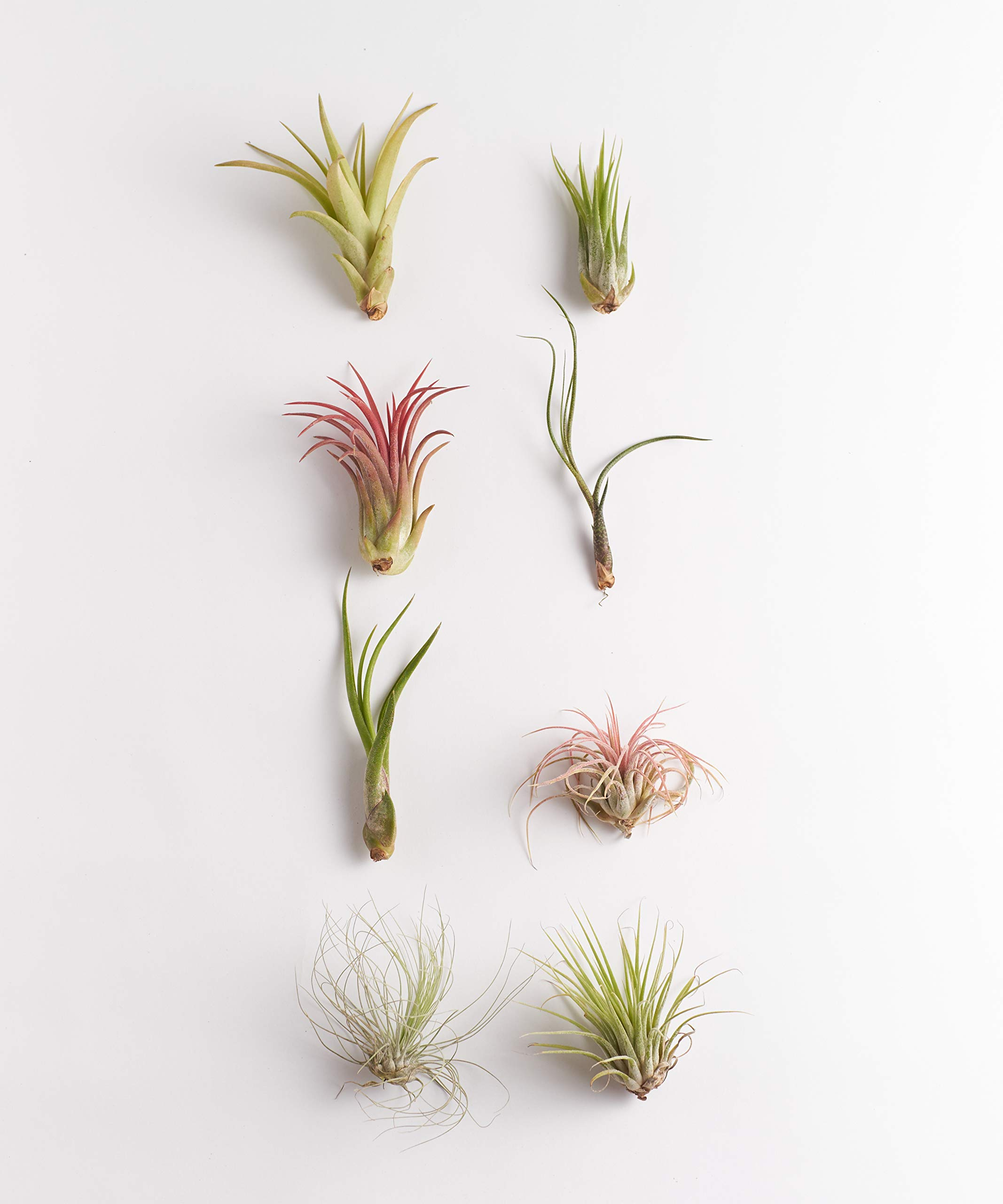 Shop Succulents   Assorted Collection of Live Air Plants, Hand Selected Variety Pack of Air Succulents   Collection of 8 by Shop Succulents